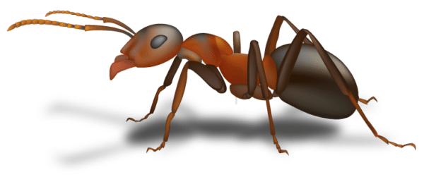 how to get rid of a carpet ants